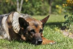 schaeferhund_chiara_2