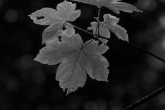Blatt schwarz-weiß